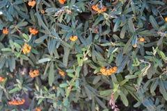 布什用橙色果子,在巴塞罗那西班牙庭院里 库存图片