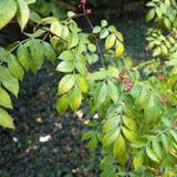 布什用莓果-在植物园的狂放的果子 库存照片