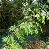 布什用莓果-在植物园的狂放的果子 图库摄影