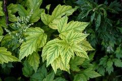 布什的被雕刻的绿色叶子在阳光下 库存图片
