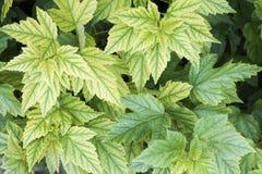 布什的被雕刻的绿色叶子在阳光下 免版税库存照片