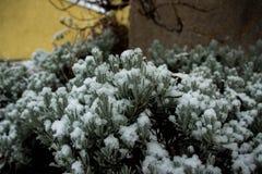 布什绿色在雪冬天下 库存照片