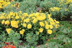 布什黄色翠菊愉快的夏天 翠菊在被隔绝的绿色背景丛生 免版税图库摄影