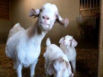 布尔人山羊家庭 免版税库存照片