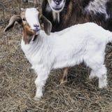 布尔人婴孩大型装配架山羊 免版税库存图片