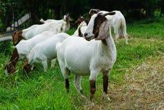 布尔人100白色山羊 免版税图库摄影