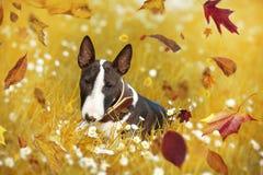 布尔得利亚小狗在秋天草甸 免版税库存图片