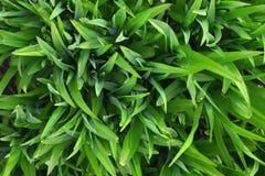 布局由绿色叶子制成 平的位置 概念查出的本质白色 免版税库存图片