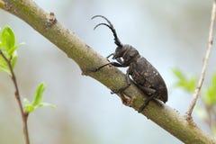 织布工甲虫,在杨柳枝杈的女妖textor 免版税库存照片