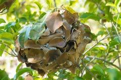 织布工蚂蚁修建的叶子巢 库存照片