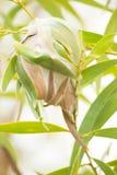 织布工蚂蚁做的叶子巢 库存图片