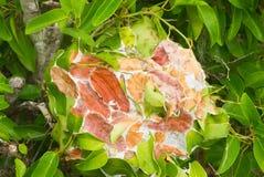 织布工蚂蚁创造的叶子巢 图库摄影
