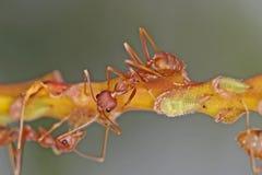 织布工蚂蚁和蚜虫 库存图片
