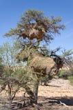 织布工鸟两巢在金合欢树,纳米比亚的 库存照片