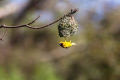 织布工鸟交配季节巢 免版税库存图片