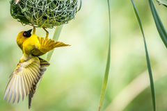 织布工鸟 免版税库存照片