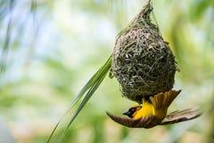 织布工鸟 库存图片