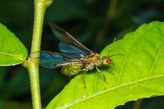 织布工绿色叶子的蚂蚁女王/王后 免版税库存照片