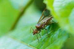 织布工绿色叶子的蚂蚁女王/王后 库存图片