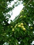 布拉斯李树树 库存照片