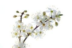 布拉斯李树白色 免版税库存照片