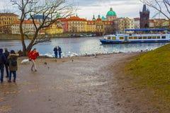 布拉格,捷克- 2017年12月31日:在查尔斯桥梁和天鹅的看法在伏尔塔瓦河河在布拉格 免版税库存照片