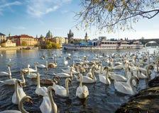 布拉格,捷克- 2015年11月08日:在伏尔塔瓦河河的天鹅 免版税库存图片