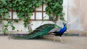 布拉格, 2017年5月28日 完善的孔雀在开放庭院里 与明亮的五颜六色的羽毛的公孔雀在附近站立 免版税库存图片