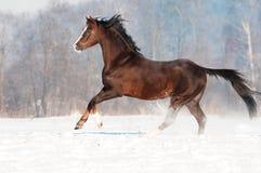 布朗・威尔士小马公马在冬天 免版税库存照片