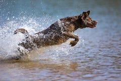 布朗・拉布拉多猎犬在水中跳 库存照片