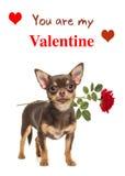 布朗与一朵红色玫瑰的奇瓦瓦狗狗和您是我的华伦泰tex 免版税图库摄影