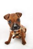 布朗与羊毛夹克的拳击手小狗 库存照片