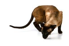 布朗东方猫嗅某事 在一个空白背景 免版税库存照片