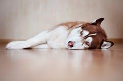 布朗休息西伯利亚爱斯基摩人的狗户内 免版税库存图片