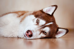 布朗休息西伯利亚爱斯基摩人的狗户内 库存照片