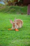 布朗兔子吃红萝卜 免版税库存照片