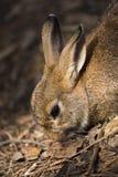 布朗兔子画象 免版税库存照片