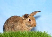 布朗兔宝宝在绿草蓝色背景中 库存图片