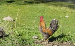 布朗公鸡在一个绿色庭院里 免版税库存照片