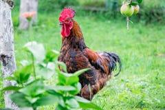 布朗公鸡在农场的庭院里在树附近的与apples_ 库存照片
