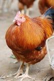 布朗公鸡 免版税库存照片