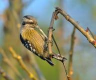 布朗加盖的矮小啄木鸟(Dendrocopos nanus) 免版税库存图片