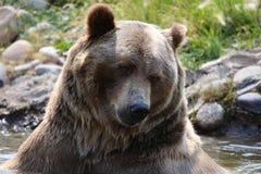布朗北美灰熊在池塘 免版税库存图片