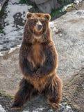 布朗北美灰熊涉及岩石 库存照片