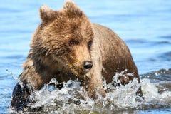 布朗北美灰熊跑在小河的Cub浇灌 库存图片