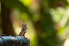 布朗变色蜥蜴,泰国的当地种类 库存图片