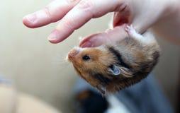 布朗叙利亚仓鼠在一只女性手上垂悬颠倒 图库摄影