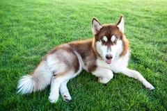 布朗可爱的狗在绿草领域放下 免版税库存照片