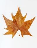 布朗叶子作为秋天标志作为一个季节性主题的概念 免版税库存照片