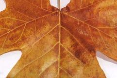 布朗叶子作为秋天标志作为一个季节性主题的概念 库存图片